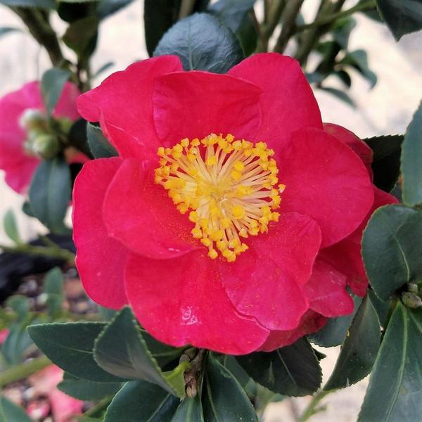 Camellia Virgin Organic