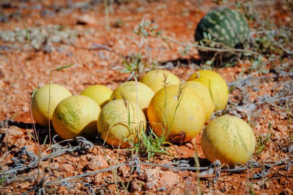 Kalahari Melon Yellow