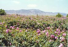 Rose Bales 2