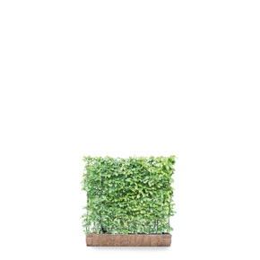 Carpinus betulus - Living Green Screen Fence