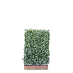 Euonymus Dart's Blanket  - Living Green Screen Fence