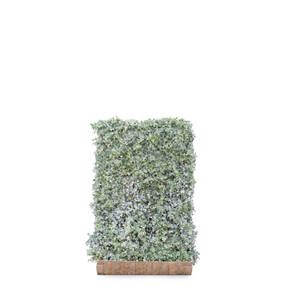 Hedera Helix Glacier Ivy - Living Green Screen Fence