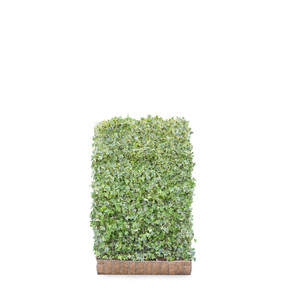 Hedera helix Goldchild Ivy  - Living Green Screen Fence