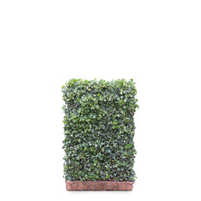 Hedera helix Green Ripple Ivy  - Living Green Screen Fence