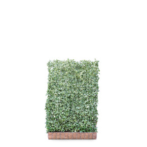 Hedera helix White Ripple Ivy  - Living Green Screen Fence