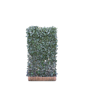 Hedera Helix Woerner Ivy  - Living Green Screen Fence