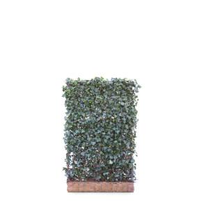 Hedera Hibernica Ivy  - Living Green Screen Fence