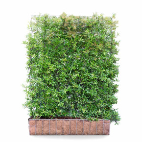 Pyracantha Dart's Red - Living Green Screen Fence