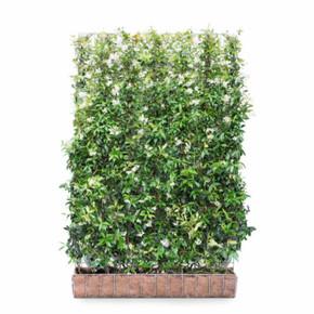Star Jasmine  - Living Green Screen Fence