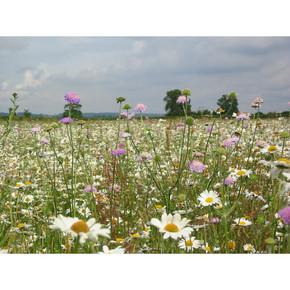 Summer Flowering Wildflower Plug Plants
