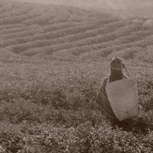 Woman Standing in Tea Field