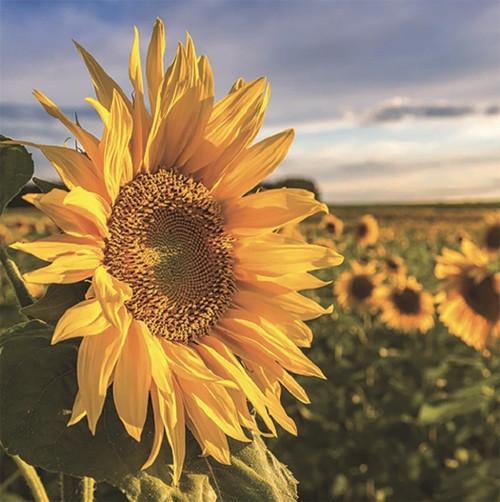 Diamond art - Sunflower 30x40