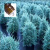 Cypress Blue Wildcrafted Australian Pure Essential Oil