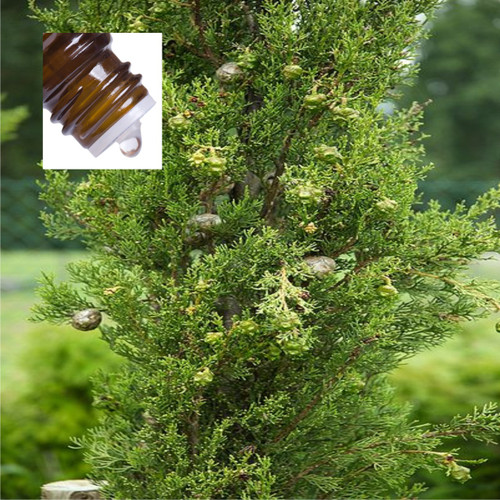 Cypress Spain Wild Pure Essential Oil