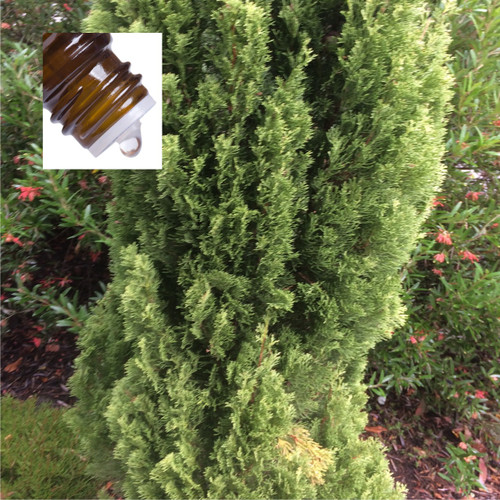 Cypress Spain Pure Essential Oil