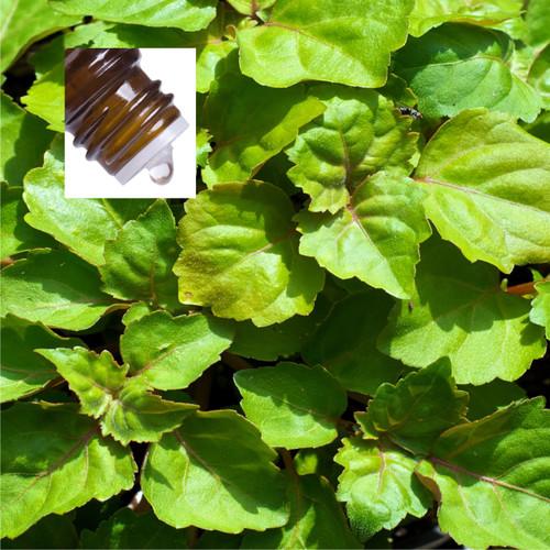 Patchouli Light Pure Essential Oil