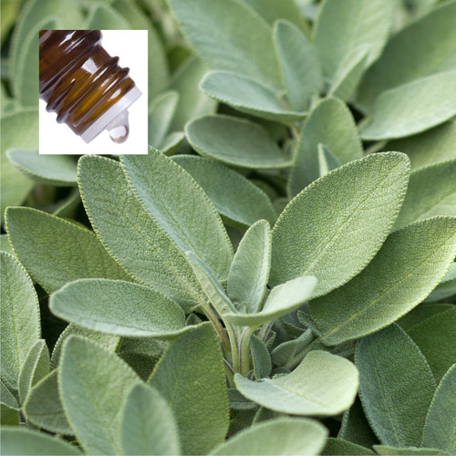 Sage Dalmation Pure Essential Oil