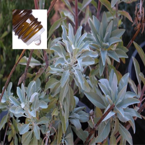 Sage Desert New Mexico Pure Essential Oil