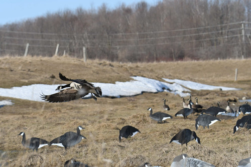 Real-Geese Canada Goose XClipse Shadow Series Silhouette Decoy 36 Pack