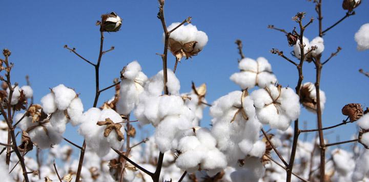 cotton-field-web2.jpg