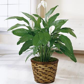 The Spathiphyllum Plant