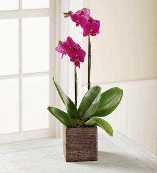 Fuchsia Phalaenopsis Orchid Plant