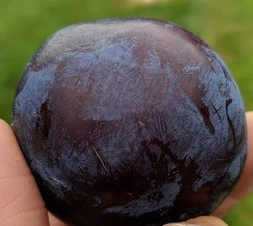 Black Ice Plum Tree