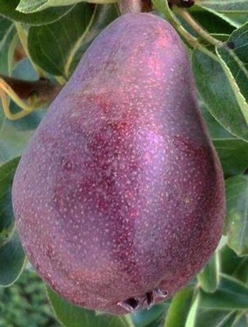 Kalle Pear Tree