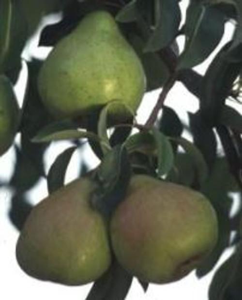 Potomac Pear Tree