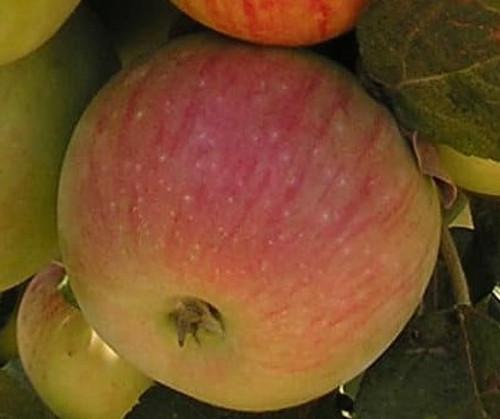 Amere de Berthencourt Apple Tree