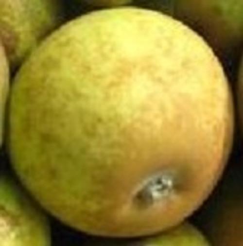 Brown Snout Apple Tree