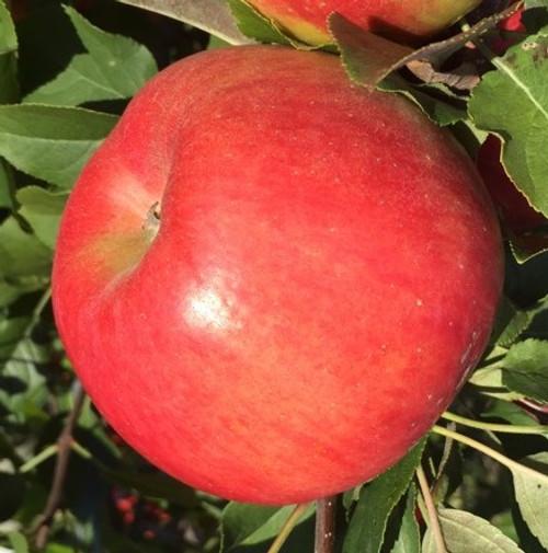 Crimson Topaz Apple Tree