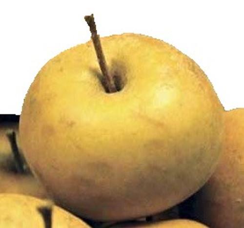 Franklin Apple Tree