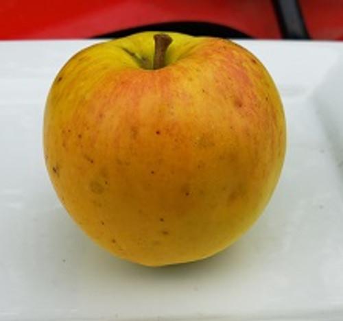Porter Apple Tree