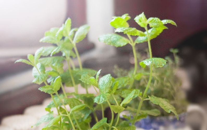 Oregano Oil Benefits + Uses