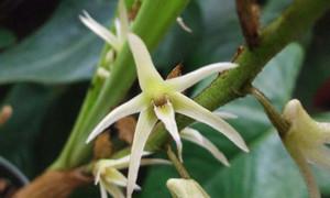 Eria Jarensis Extract