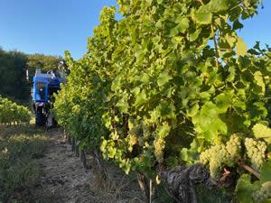 Harvest 2020 - Sauvignon blanc