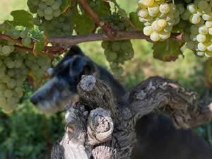 Harvest 2020 - Trois Hectares blanc