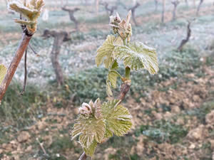The frost at Bauduc Spring 2021