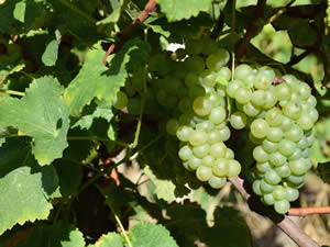 Semillon grapes weren't over ripe. Clean and fresh