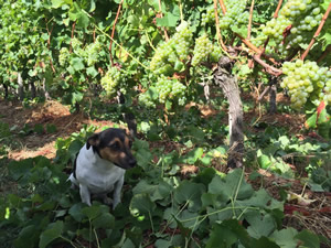 Pavie and Semillon, ready to pick