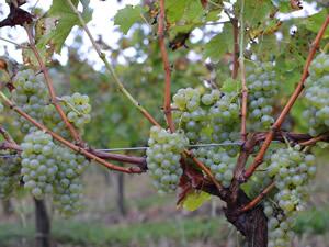 Bauduc Sauvignon Harvest