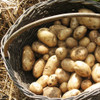Kennebec Certified Non-Gmo Seed Potato - 2 Pounds - Heirloom Basket Photo