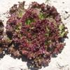 LETTUCE SEEDS - Ruby Red, 1/8 oz. + Heirloom Organic Seeds, USA - Heirloom Large Lettuce Plants