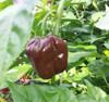 Chocolate Habanero - No chemicals, organic garden heirloom.