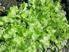 Green Salad Bowl Loose Leaf Lettuce - Per Gram - Large Heirloom Head.