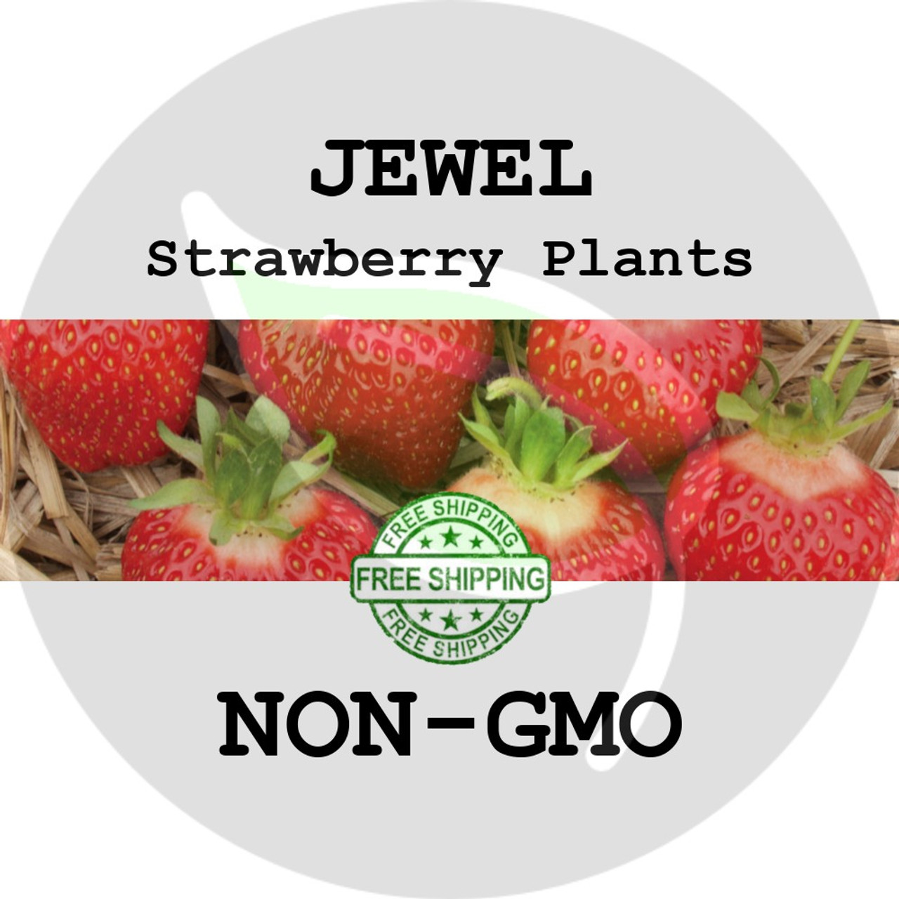 Jewel Strawberry Plants Pack of 30 Bare Roots Excellent for Home Gardeners - #1 Midseason Variety Best in Zones: 4-8.