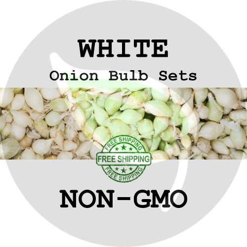 Spring & Fall Onion Bulb Sets (White) - NON-GMO Seed Onions - Stock Photo