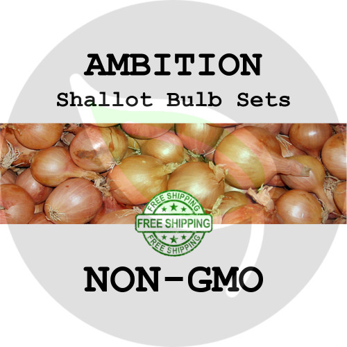 Ambition Shallot Sets For Sale - NON-GMO Bulbs For Seed - Stock Photo Bulk