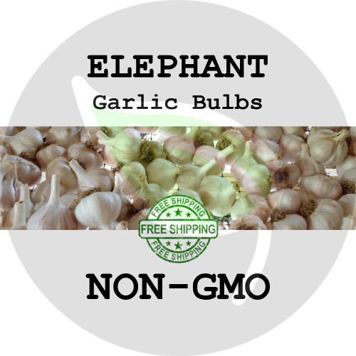 Elephant Garlic For Sale - NON-GMO Cloves, Bulbs For Seed - Stock Photo Bulk